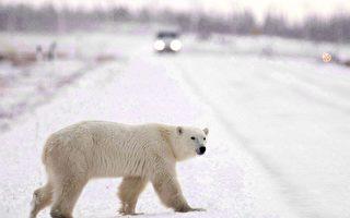 北极熊袭人 父亲为救孩子丧生