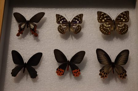 台湾濒临灭绝的珍稀蝴蝶。