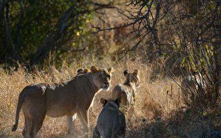 现世报? 数名犀牛盗猎者在南非被狮群吃掉