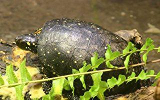 兩中國空乘走私烏龜 可能獲刑10個月