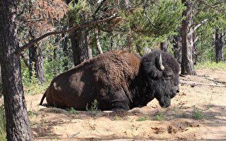 报告:加拿大最大国家公园环境全面恶化