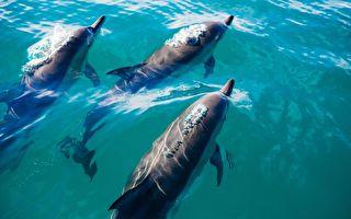 活潑海豚群 圍著船頭飆浪 讓海面熱鬧無比