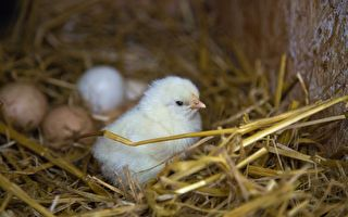 """精彩的奇""""鸡""""时刻 小鸡破壳而出全过程"""