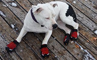 「一定要穿嗎?」狗兒穿鞋就不會走路了