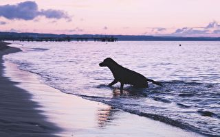 為減輕愛犬的關節炎疼痛 他每天陪游復健