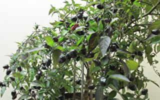 北美生活:我家的辣椒树