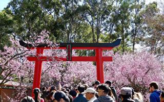组图:八月樱花开 悉尼迎春来