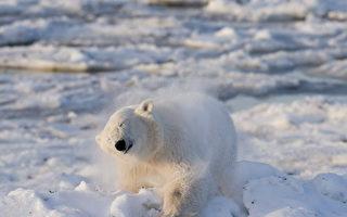 加拿大北极熊再伤人 一猎人丧生