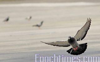 上海賽鴿造假 兩男子坐高鐵帶鴿「飛」千里