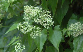 小花蔓泽兰繁殖强 台除蔓不能慢