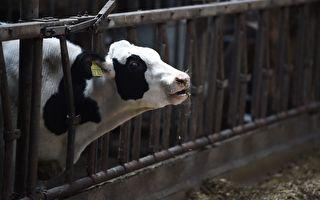 運輸中斷  澳維州火災區每天倒掉數千升牛奶