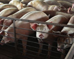 江蘇再爆非洲豬瘟 疫情已在中國蔓延 令人憂