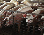 陳思敏:非洲豬瘟疫情升溫 病毒來源真相為何