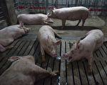 非洲豬瘟已擴至5省 中國豬瘟或致豬價大跌