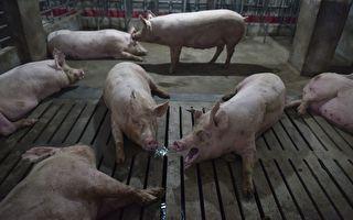 非洲猪瘟已扩至5省 中国猪瘟或致猪价大跌