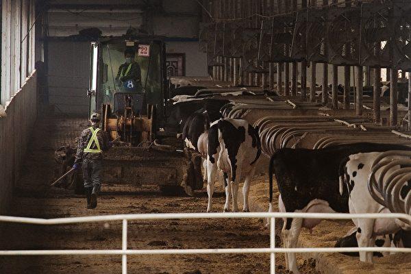 陕西渭南市一社区6头奶牛布病检测阳性