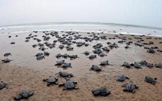 浪涛宛如母亲的呼唤 海龟宝宝奋力爬向大海
