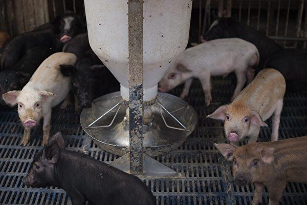 中國爆發非洲豬瘟 四省4.3億隻豬面臨風險