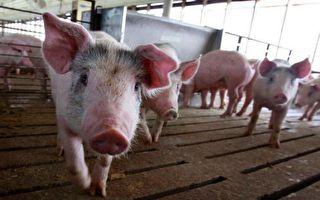 陈思敏:非洲猪瘟疫源 中共有口难言