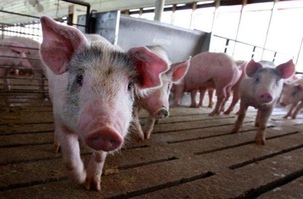 陳思敏:非洲豬瘟疫源 中共有口難言