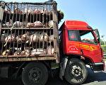 中國非洲豬瘟爆發 源頭被指進口俄羅斯豬肉