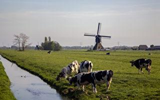 抱一抱奶牛 可以减轻压力、帮助治病