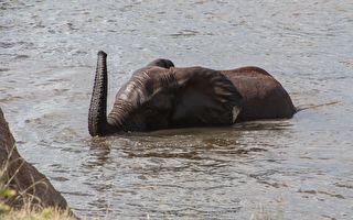 村民們往河裡「丟鞭炮」 成功拯救受困大象