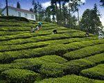 在南投海拔約一千公尺的山上,和夫家的姐妹購置一甲的荒廢茶園。示意圖。(pixabay)