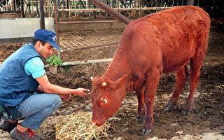 紅母牛在以色列誕生 或示《聖經》末日預言