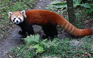 """郑重介绍""""大、小猫熊"""" 别再傻傻分不清啰"""