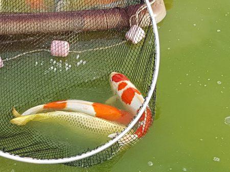 张堂恩努力的研究养殖方法,加上自己研发特殊的配方,所养的锦鲤色泽光亮,精神饱满,活力充沛 。