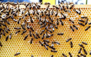从质疑核磁共振到支持 澳蜂蜜制造商建实验室