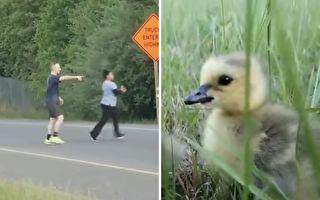 初生鸭雏不畏车 好心民众将毛孩子们带离公路