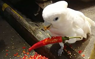 俏皮雪鸚鵡大吃紅辣椒 網驚:四川飛來的!