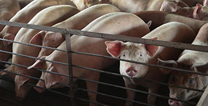 中國新型豬流感可傳人?台疾管署回應