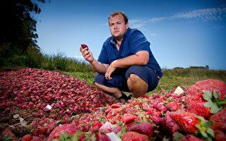 澳洲藏针草莓蔓延新西兰 奥克兰超市现首例