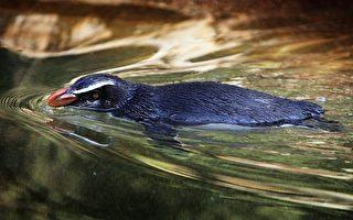馬拉松式大遷徙 新西蘭企鵝環遊6800公里覓食