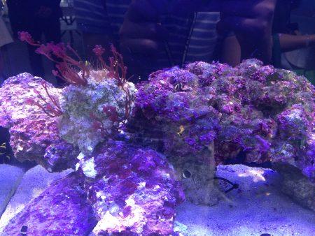 人工咾咕石属于生物绿材,没有使用期限,就像是生态循环,只要有灯光人工咾咕石上的菌种与藻类就能一直生长帮助水质净化。