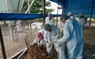 未依规定径行复养  鸡只扑杀不补偿并裁罚