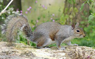 大量松鼠成新英格蘭農民新患