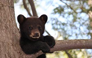 凌晨,一头黑熊在渥太华街上闲逛