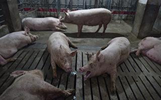 非洲猪瘟致大陆生猪、猪肉价格差异大