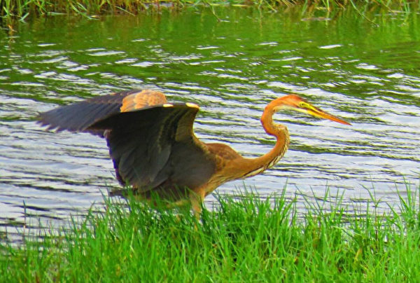 罕见! 遥远西伯利亚紫鹭飞临台湾鳌鼓湿地