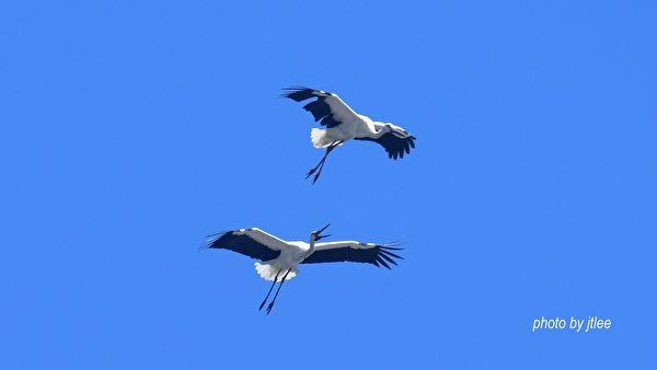 组图:濒危东方白鹳来台过冬 遨翔画面唯美