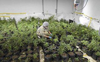 在羅德島私種大麻 紐約市民認罪