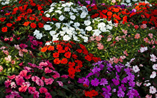 新西兰最受欢迎花卉之一或将被疾病消灭