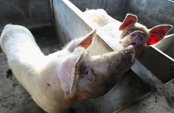 面臨被宰殺 4頭東北種豬或移民美國求生