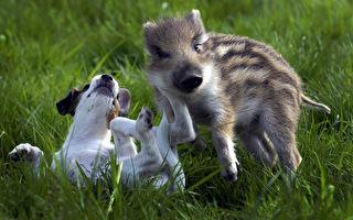 获救小猪学会向宠物狗吠叫 最可爱小伙伴萌化网友心