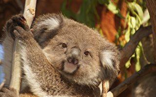 南澳考拉與袋熊將首次定居英格蘭