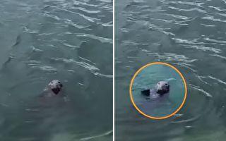 「謝謝!請繼續」 水中海豹收到魚塊揮手致意